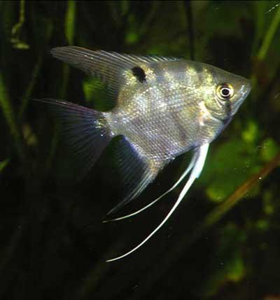 FINARAMA: Pterophyllum Angelfish The Original Pterophyllum Species ...
